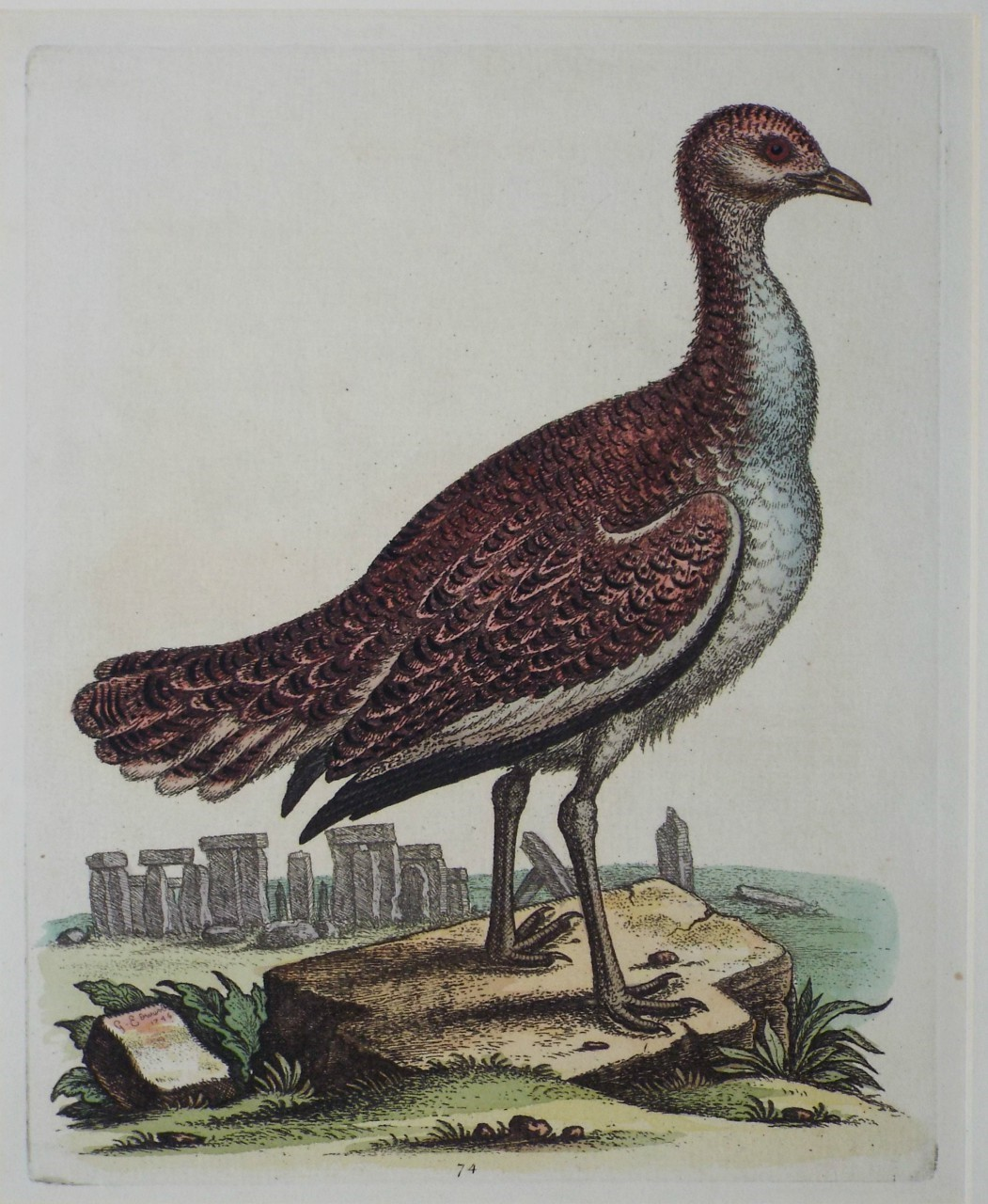 Print - (Hen Great Bustard) - Edwards