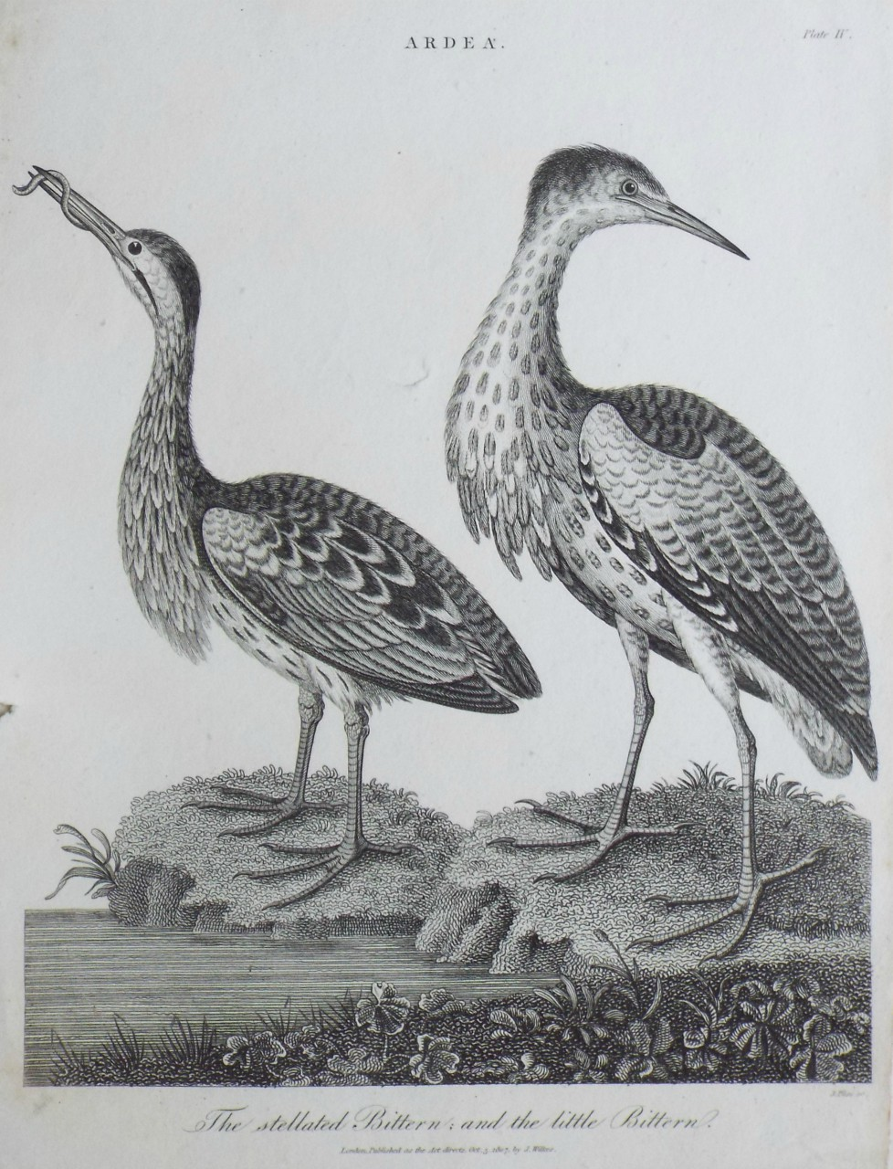 Print - Ardea, The stellated Bittern; and the little Bitterne. - Pass