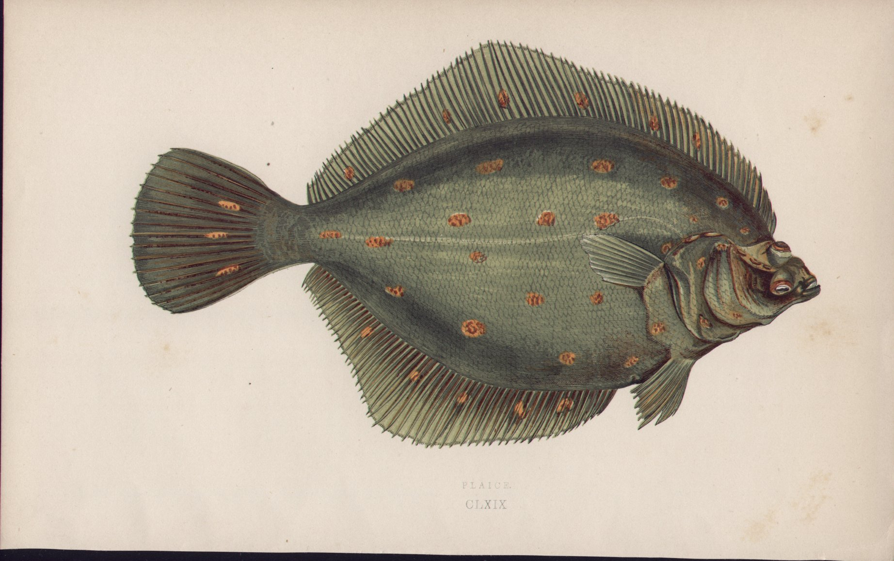 Chromolithograph - 169 Plaice. CLXIX - Fawcett