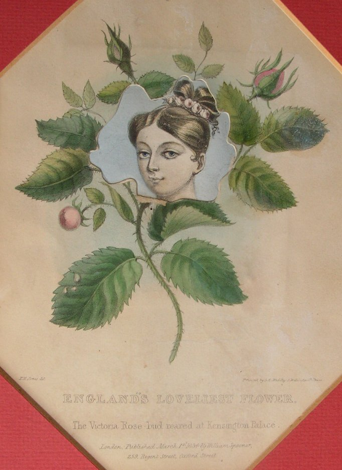 Lithograph - England's Loveliest Flower. The Victoria Rose-bud reared at Kensington Palace. - Madeley